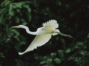 A Great Egret, Casmerodius Albus, Flies Gracefully by Tim Laman