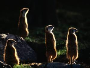 A Group of Captive Meerkats Standing in the Afternoon Sun by Tim Laman