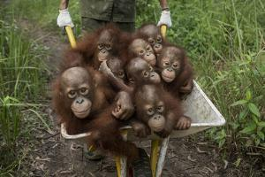 A Keeper Transports a Group of Juvenile Orangutans by Wheelbarrow by Tim Laman