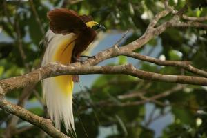 A Lesser Bird of Paradise Flaunts His Flank Plumes to Entice Females by Tim Laman