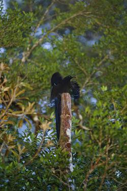 A Male Black Sicklebill Bird of Paradise at His Display Perch by Tim Laman