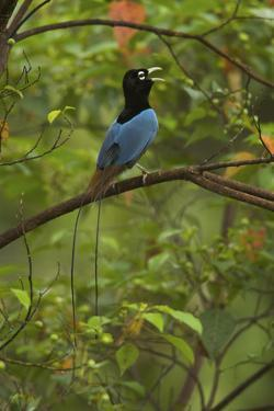 A Male Blue Bird of Paradise Calling by Tim Laman