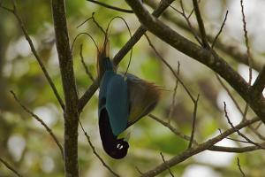 A Male Blue Bird of Paradise Performs Practice Display by Tim Laman