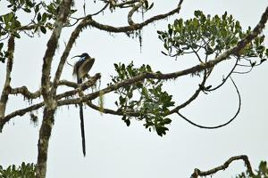 A Male Brown Sicklebill at Calling Perch in the Rain Forest Canopy by Tim Laman