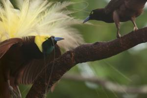 A Male Greater Bird of Paradise Displays to a Female by Tim Laman