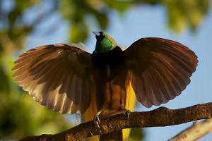 A Male Greater Bird of Paradise Performs an Upright Wing Pose at His Display Site by Tim Laman