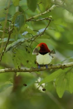 A Male King Bird of Paradise with His Pectoral Fans Extended by Tim Laman