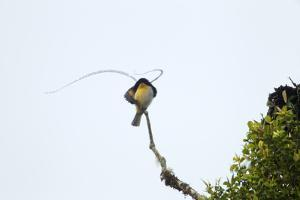 A Male King of Saxony Bird of Paradise on Calling Perch Above the Canopy by Tim Laman