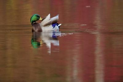 A male mallard preens as fall colors reflect in the water. by Tim Laman