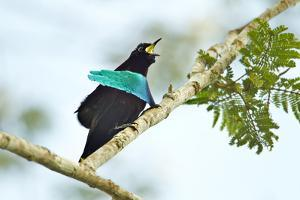 A Male Superb Bird of Paradise Calling by Tim Laman