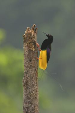 A Male Twelve Wired Bird of Paradise At His Display Pole by Tim Laman