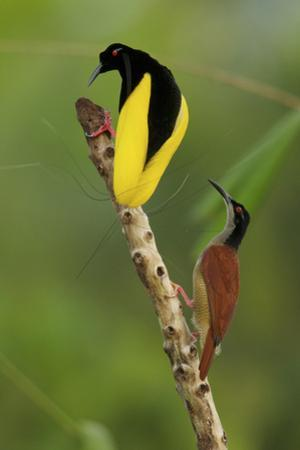 A Male Twelve Wired Bird of Paradise Brushes the Female with Feathers by Tim Laman