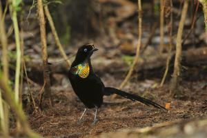 A Male Wahnes's Parotia Bird of Paradise at His Display Court by Tim Laman