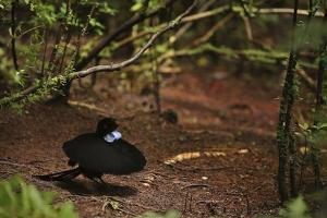 A Male Wahnes's Parotia Bird of Paradise Performs a Ballerina Display by Tim Laman