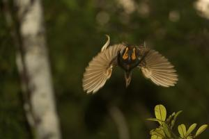 A Male Wallace's Standardwing Bird of Paradise Performs Aerial Display by Tim Laman