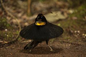 A Male Western Parotia Bird of Paradise Performs a Ballerina Dance by Tim Laman