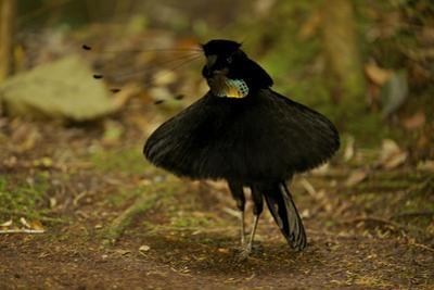 A Male Western Parotia Bird of Paradise Performs a Ballerina Dance by Tim Laman