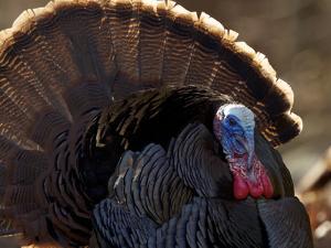 A Male Wild Turkey, Meleagris Gallopavo, Displaying by Tim Laman