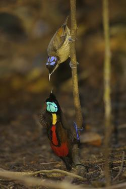 A Male Wilson's Bird of Paradise Displays to Female From a Sapling by Tim Laman