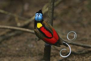 A male Wilson's bird of paradise on his main display pole in the center of his court. by Tim Laman