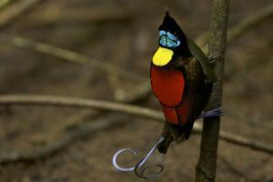 A Male Wilson's Bird of Paradise Performs a Pointing Display Posture On His Main Display Pole by Tim Laman