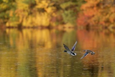 A mallard pair, Anas platyrhynchos, flies over Walden Pond in the fall. by Tim Laman