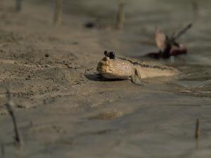 A Mudskipper Fish on a Tidal Flat by Tim Laman
