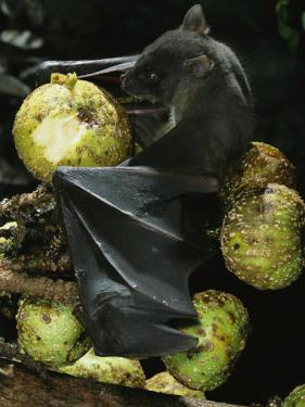 A Native Species, the Musky Fruit Bat Feeds on Figs by Tim Laman