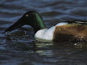 A Northern Shoveler Feeds by Straining Water Through its Bill by Tim Laman