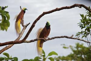 A Pair of Greater Birds of Paradise Perch in a Tree At Their Display Site by Tim Laman