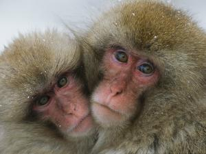 A Pair of Japanese Macaques, or Snow Monkeys, Cuddle Together by Tim Laman