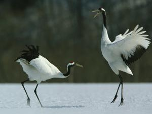 A Pair of Japanese or Red Crowned Cranes Engage in a Courtship Dance by Tim Laman