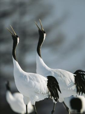 A Pair of Japanese or Red Crowned Cranes Give a Mating Call, Japanese Cranes Mate for Life by Tim Laman