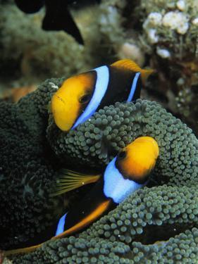A Pair of Orange Fin Anemonefish Sleep Amid Sea Anemone Tentacles by Tim Laman