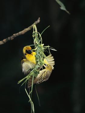 A Pair of Weaverbirds Work Together on Their Nest by Tim Laman