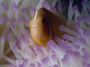 A Pink Anemonefish Seeks Shelter Among the Tentacles of a Sea Anemone by Tim Laman
