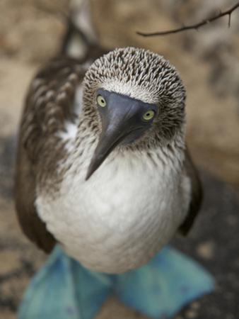 A Portrait of a Blue-Footed Booby, Sula Nebouxii by Tim Laman