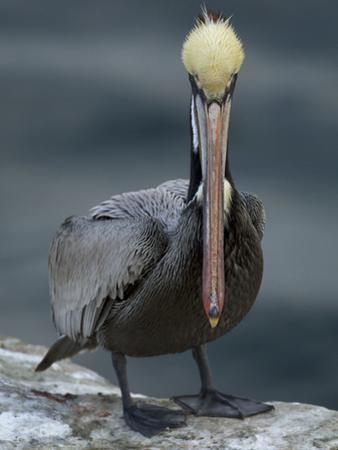A Portrait of a Brown Pelican, Pelecanus Occidentalis by Tim Laman