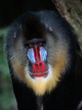 A Portrait of a Captive Mandrill by Tim Laman