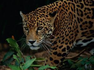 A Portrait of a Leopard (Panthera Pardus) by Tim Laman