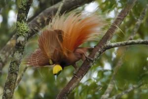 A Raggiana Bird of Paradise Performs a Display in the Kiburu Forest by Tim Laman