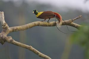 A Red Bird of Paradise Perches on a Tree in a Mountain Forest by Tim Laman