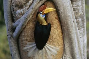 A Red Knobbed Hornbill Delivers Fruit to Chicks in its Nest by Tim Laman