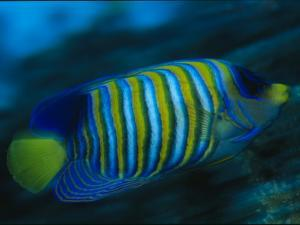 A Regal Angelfish Swimming in Blue Water by Tim Laman
