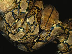A Reticulated Python Wound Around a Tree Branch by Tim Laman