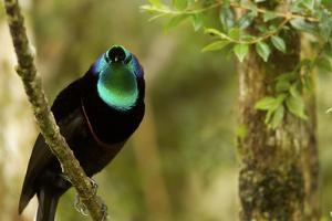 A Ribbon Tailed Astrapia Bird of Paradise by Tim Laman
