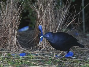 A Satin Bowerbird Spruces Up His Bower With a Parrot Feather by Tim Laman