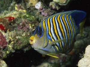 A Side View of a Regal Angelfish, Pygoplites Diacanthus by Tim Laman