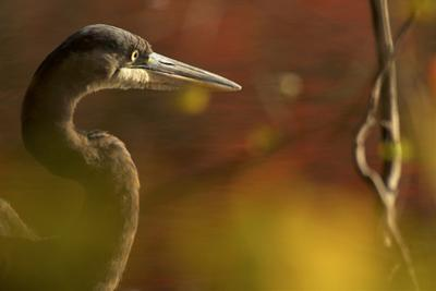 A side view portrait of a great blue heron, Ardea herodias,  though green foliage. by Tim Laman