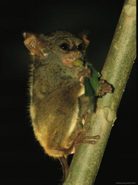 A Tarsier Climbs a Tree as it Feeds on an Insect by Tim Laman